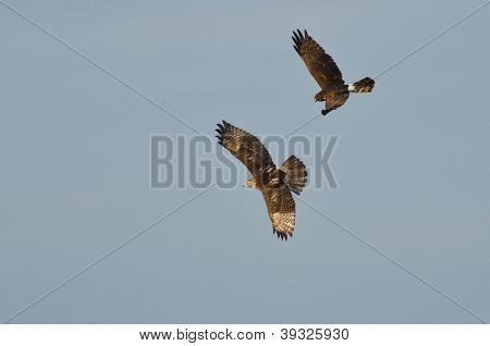 Northern Harrier And Red-tailed Hawk In Aerial Combat
