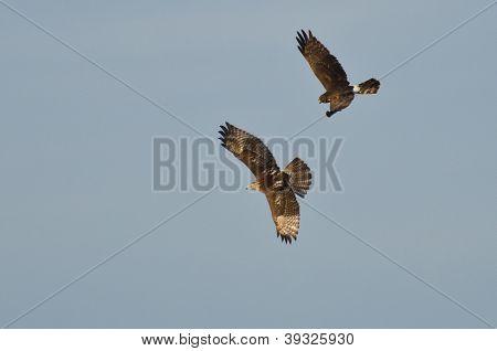 Northern Harrier e falcão Vermelho - atado em combate aéreo