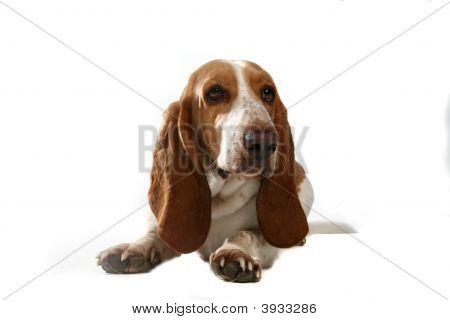 Cute Basset Hound Dog