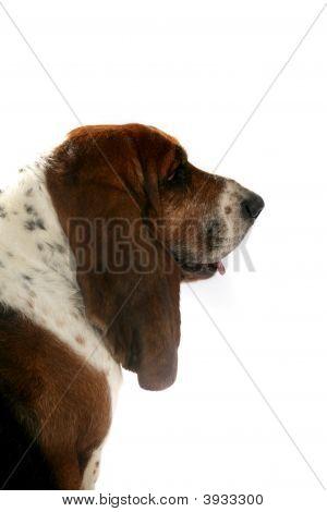 Profile Of Basset Hound