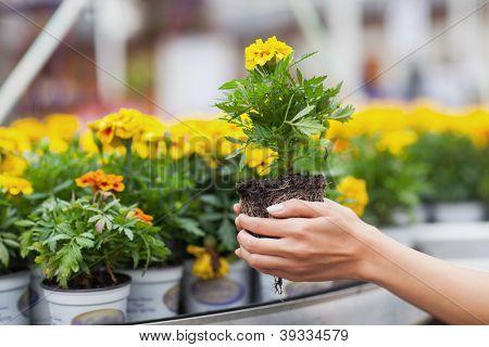 Flowers being put in pots in garden center