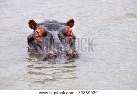 Huge Hippo In Water