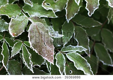 Frost covered holly leaves