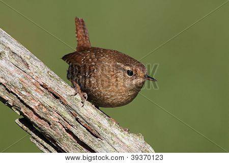 Winter Wren (troglodytes) On A Branch