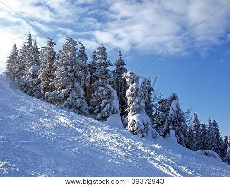 Snowy Spruce
