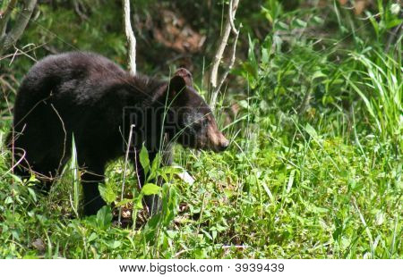American Black Bear Series