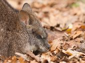 image of tammar wallaby  - Resting parma wallaby in a dutch zoo - JPG