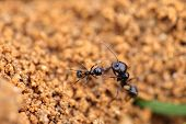 image of formica  - Soldier ant formica in anthill - JPG