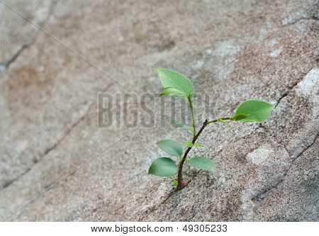 sapling growing in the crevice of a rock.