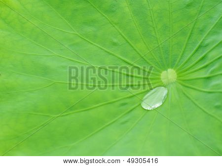 Close up of a Lotus Leaf with water bubble