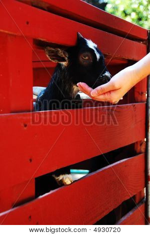 Goat Eating From Hand
