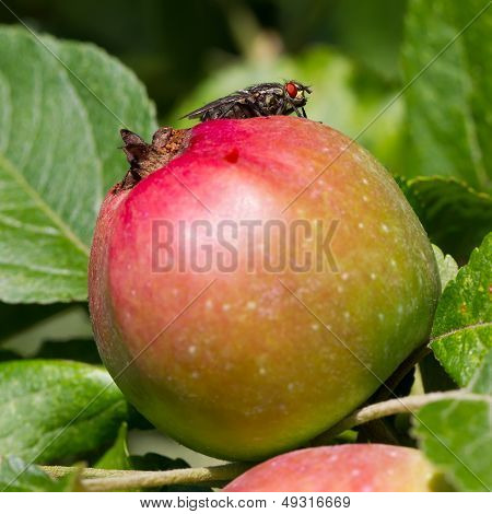 Fly On Apple
