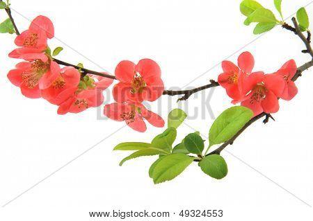 Flowering Quince