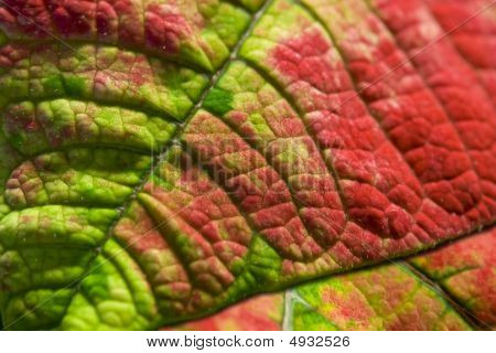 Red And Green Leaf Macro