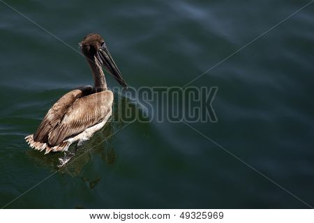 A Brown Pelican (Pelecanus occidentalis) floating in the waters of a marina on the Intracoastal Waterway in Florida.