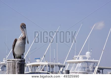 A Brown Pelican (Pelecanus occidentalis) sitting on a pylon of a marina on the Intracoastal Waterway in Florida.