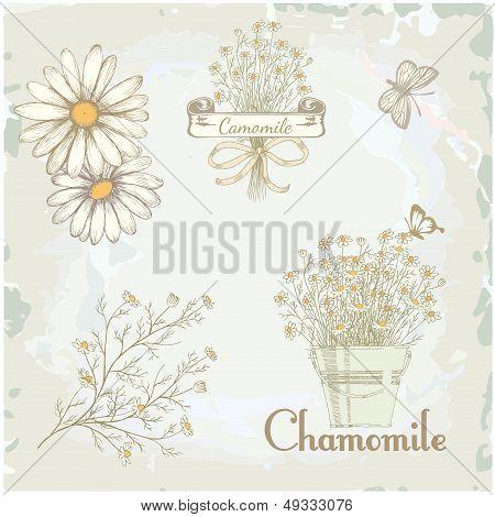 chamomile, camomile,