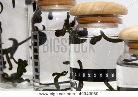 Medicinal Leech-hirudo medicinalis-