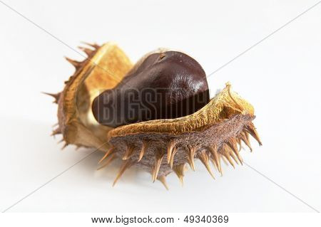 shiny chestnuts isolated on white background