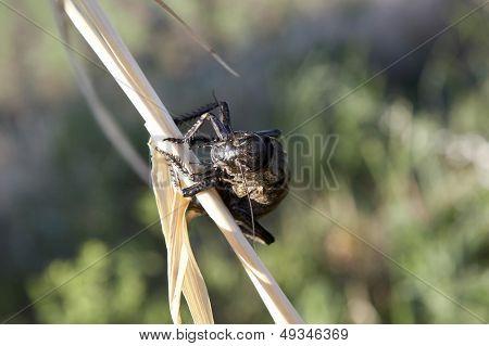 grasshopper (locusta viridissima) in a wheat field
