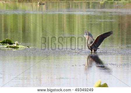 Great blue heron (Ardea herodias), Danube Delta