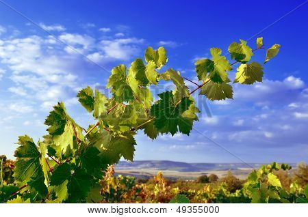Grapevines, Mountains And Blue Sky