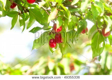 Sweet Red Cornelian Cherry