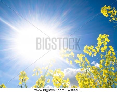 Rapeseed Field At Spring