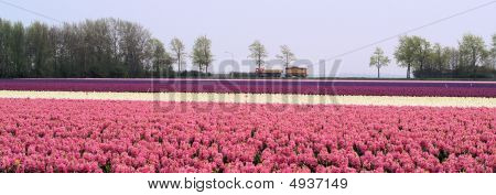 Panorama In Pink And Purple