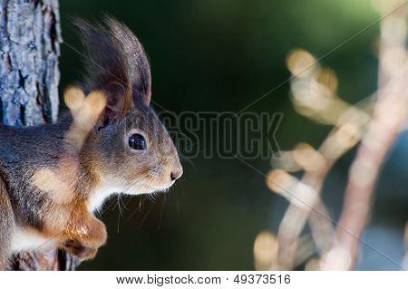 The Red Squirrel (Sciurus vulgaris) In Profile