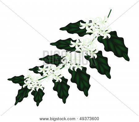 An Illustration Of Coffee Flowers On White Background
