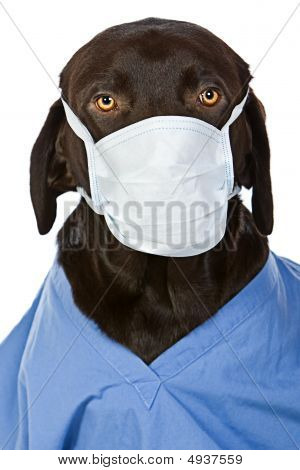 Chocolate Labrador Surgeon