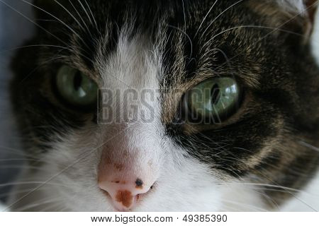 cat with the green eyes