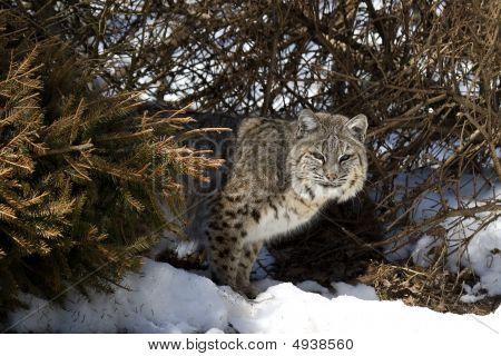 Bobcat V