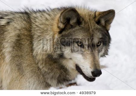 Timber Wolf V
