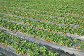 image of gleaning  - Cultivation strawberry - JPG