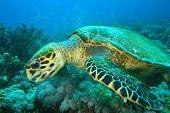 Turtle Feeding On Soft Corals
