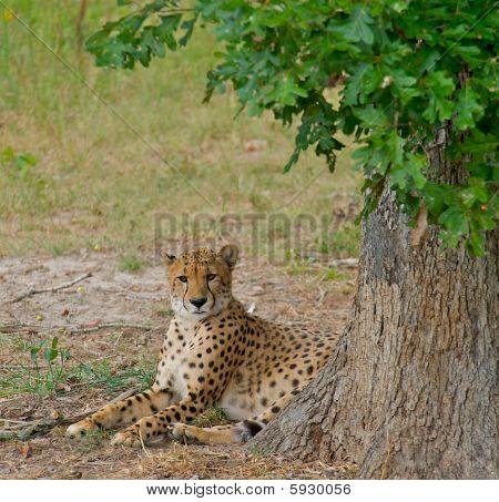 Cheetah Laying In The Shade Of A Tree.