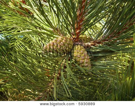 Pine With Cones