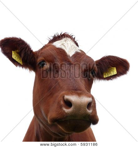 Brown head of a cow