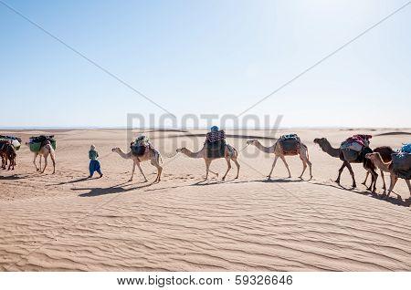 Dromedary Caravan, Hamada Du Draa (morocco)