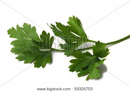 Green Parsley Leaf