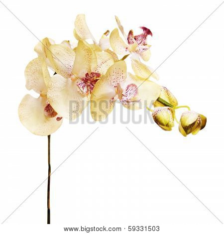 Artificial Orchids Isolated On White Background.