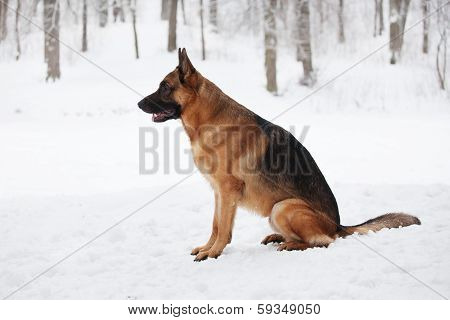 Large Shepherd Sitting In The Snow Winter Day
