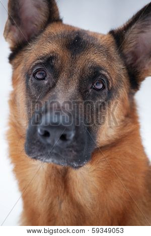 Close-up Of Red Shepherd