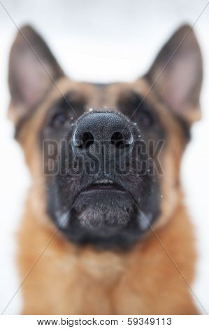Photographed Close-up Nose Of A Large Dog