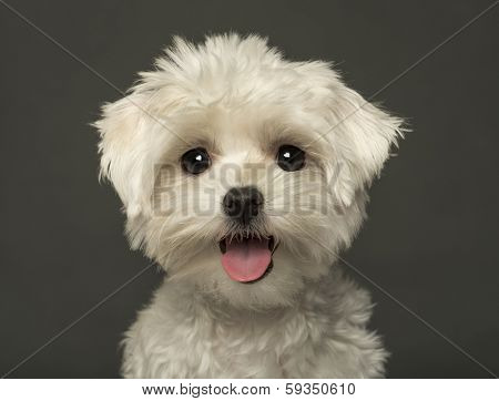 Close-up of a Maltese puppy panting, looking at the camera, isolated on a grey background
