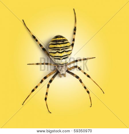 View from up high of a Wasp spider, Argiope bruennichi, on a yellow background