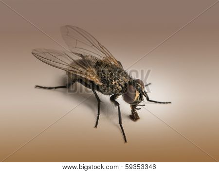 Dirty Housefly, Musca domestica on a brown background