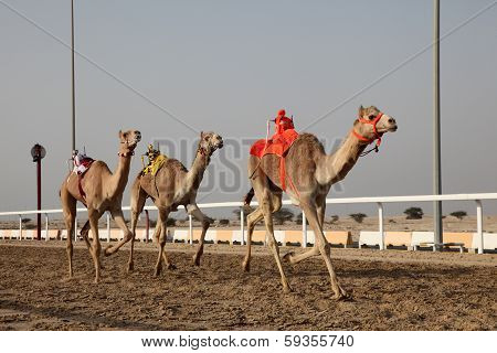 Traditional Camel Race In Doha